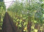отличительная особенность высокорослых томатов- неограниченный рост, который можно остановить, только прищипнув...